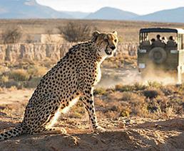 Gepard Safari